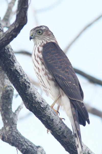 Sharp-shinned hawk, Brier Is, 2010
