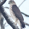 Sharp-shinned hawk, Brier Is, 2010