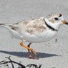Piping plover at Cherry Hill Beach, 2010