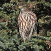 Sharp-shinned hawk, Brier Is