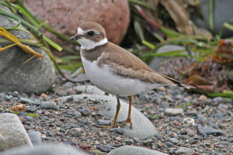 Semipalmated plover, Hartlen Pt, 2010