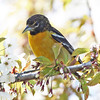 Baltimore oriole in apple blossoms, Brier Island  may 2010
