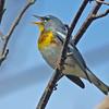 Male northern parula, singing