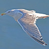 Herring gull in flight off Brier Island, 15 Sep 2012