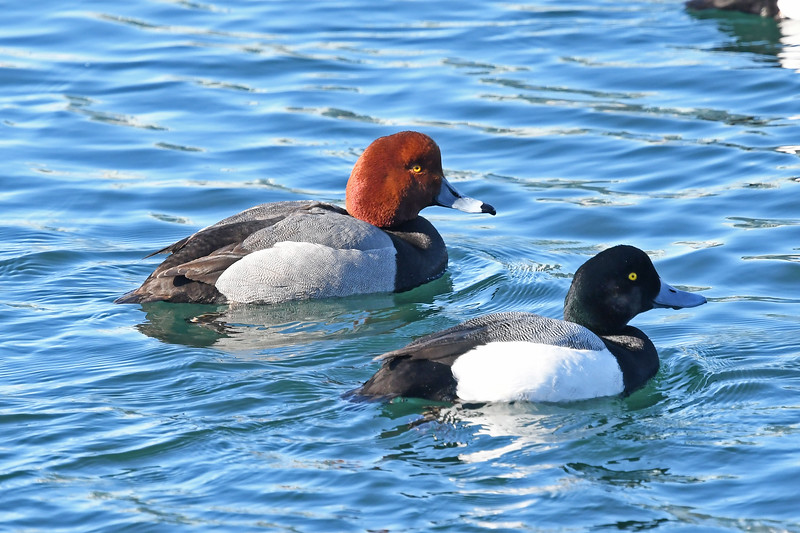 Redhead and male greater scaup at Dartmouth Cove, 13 Mar 2019