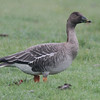 Tundra Bean Goose, Yarmouth Golf Course, 13 Nov 2013