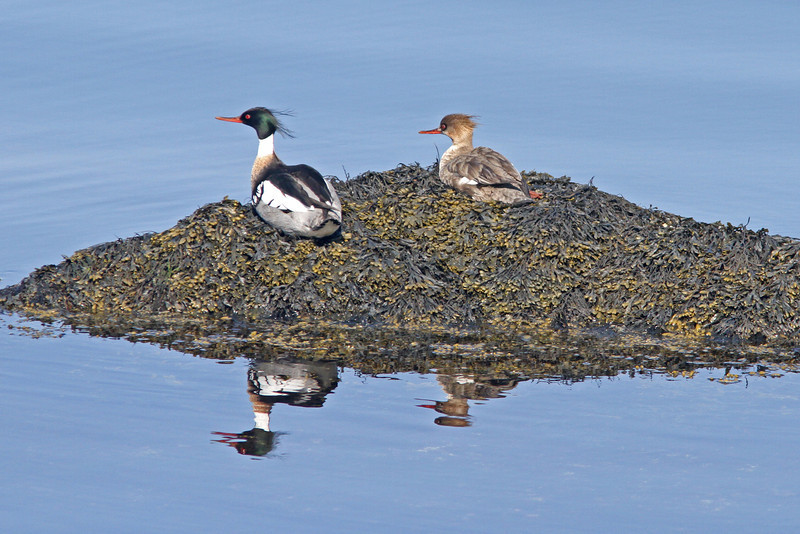 Pair of red-breasted merganser