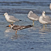 Juvenile black skimmer at McCormack's Beach (Eastern Passage), Sep 2010 (Earl)