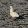 Ross's goose at Hartlen Pt, 7 Jan 2013