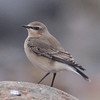 Northern wheatear at Hell Point (near Kingsburg, Lunenburg County), 2 Nov 2013