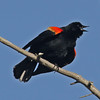 Singing red-winged blackbird, early April