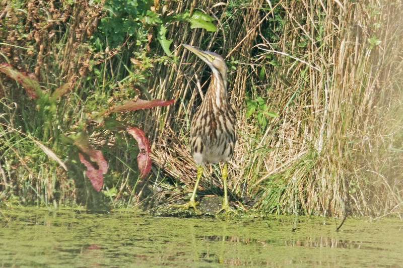American bittern in septic pond at Hartlen Pt golf course, around 10 Sep 2012