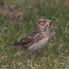 Lapland longspur at Canso, 1 Dec 2012