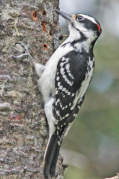 Hairy woodpecker, male