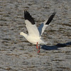 Ross's goose at Hartlen Pt, 7 Jan 2013