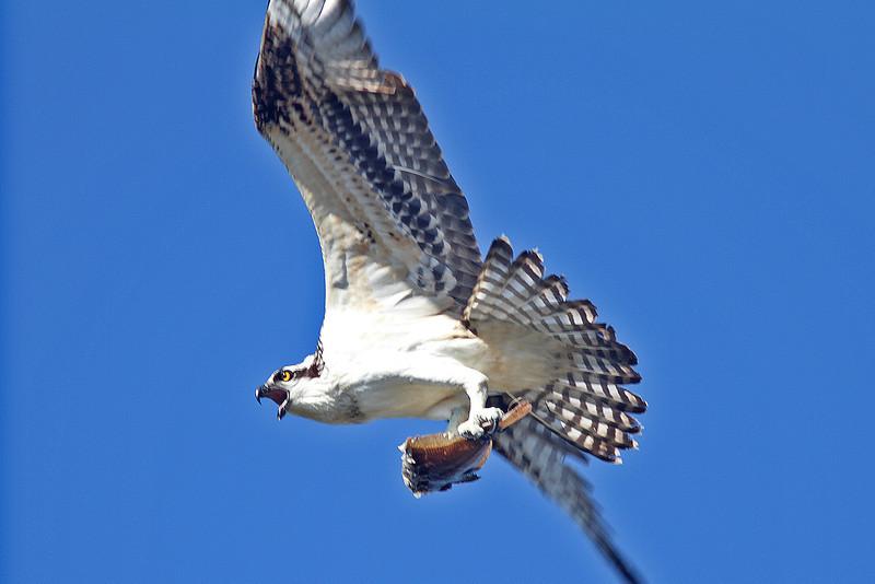 Osprey in flight with catch
