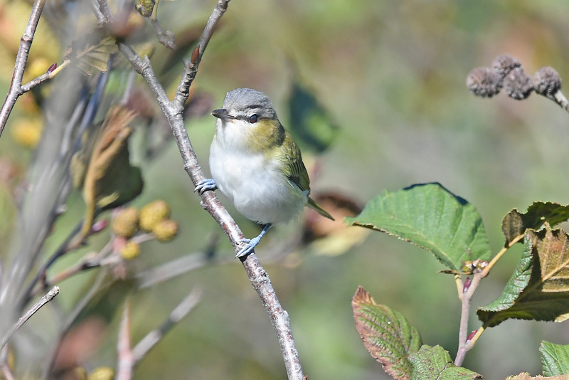 Red-eyed vireo on Brier Island, 26 Sep 2016