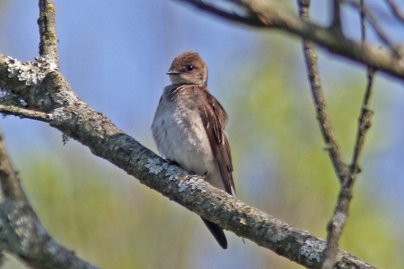 Northern rough-winged swallow, Brier Island, 20 May 2012