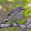 Yellow-rumped warbler, likely juvenile