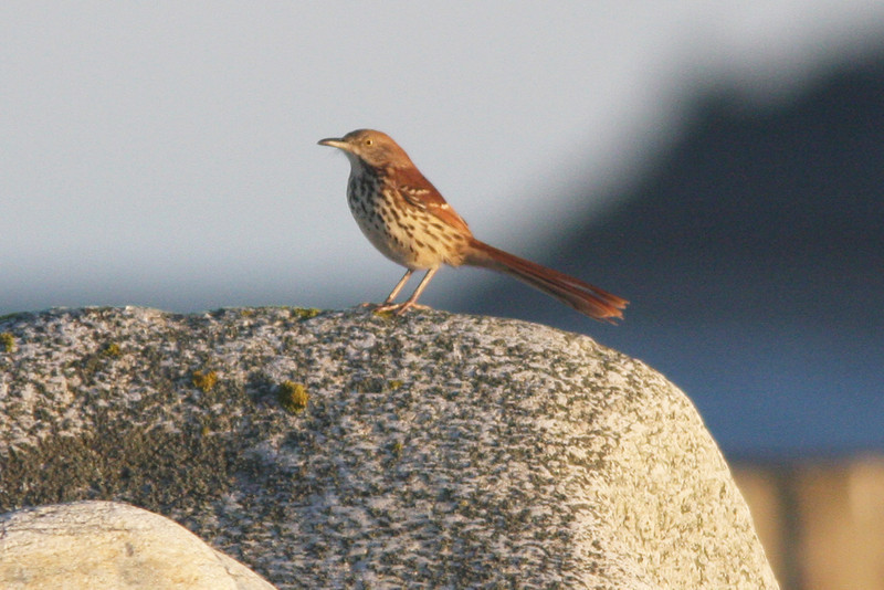Brown thrasher, Seal Island, Sep 2008