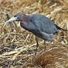 Little blue heron near Mahone Bay, April 2010