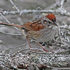 Adult swamp sparrow