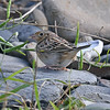Grasshopper sparrow, Point Pleasant Park, 26 Oct 2016