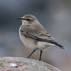 Northern wheatear at Hell Point, near Kingsburg, Lunenburg County NS, 2 Nov 2013, reported by Kevin Lantz
