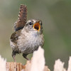 Singing winter wren