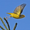 "Yellow warbler""taking off"", Brier Island, Sep 2012"