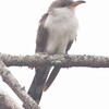 yellow-billed cuckoo at Hartlen Point, late Sept, 2011