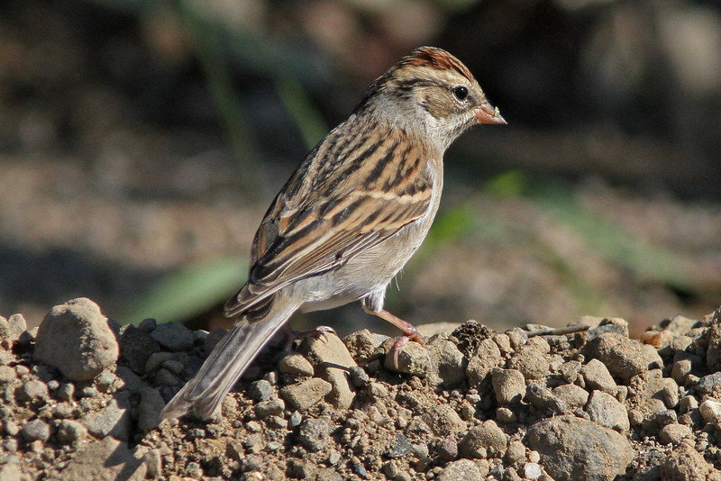 Chipping sparrow - Brier Island, Oct 8, 2011