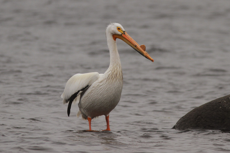 White pelican near Corkum Island, Lunenburg County, 12 June 2013