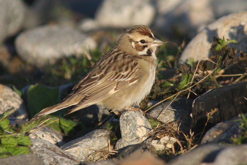 Lark sparrow, Seal Island, Sep 2008