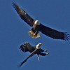 Courting bald eagles over Duncan's Cove