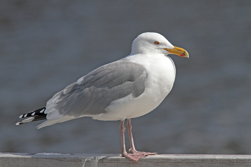 Adult herring gull, breeding plumage