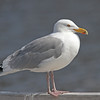 Adult herring gull, breeding plumage