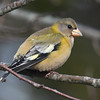 Evening grosbeak taken through window at Squid Cove, Lun Cty
