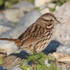 Song sparrow, Seal Island, Sep 2008