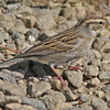 Chipping sparrow at Brier Island - Oct 8, 2011