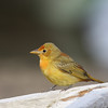 Summer tanager female on Brier Island, May16, 2009