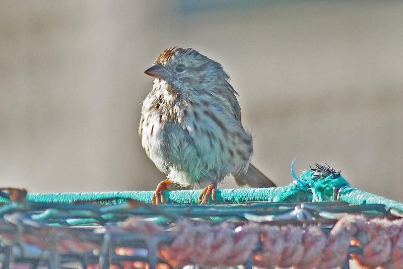 Song sparrow, Brier Island, 18 Sep 2012