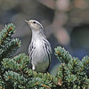 Black and white warbler, Brier Island, 18 Sep 2012