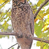 Great-horned owl in Halifax, Nov 2012