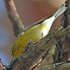 Pine warbler, 2010, Pt Pleasant Park
