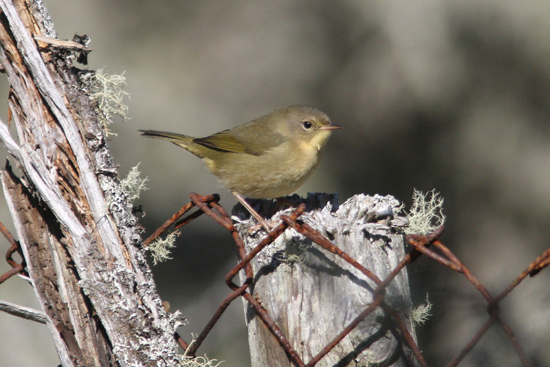Pale common yellowthroat, Seal Island, Sep 2008