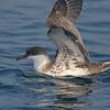 Great shearwater on Pubnico trip 2015