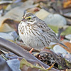 Ipswich race of savannah sparrow, April 2011, Hartlen Pt