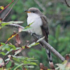 yellow-billed cuckoo at Hartlen Pt