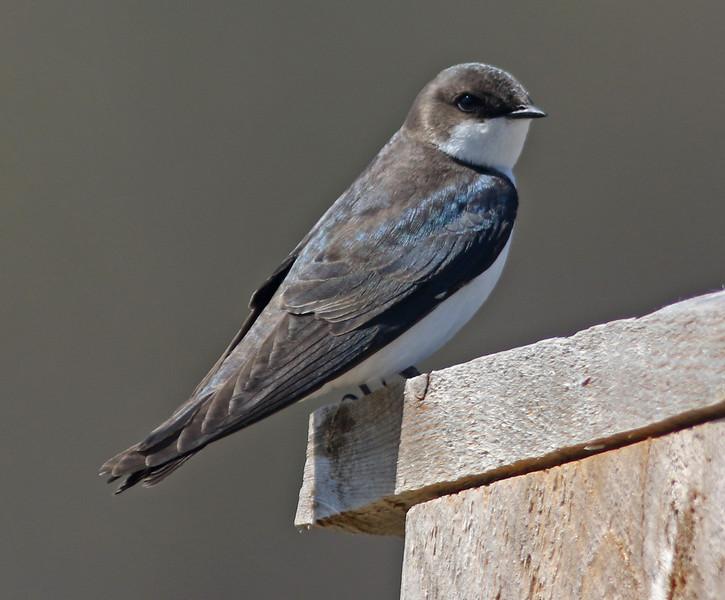 Brownish tree swallow at Miner's marsh